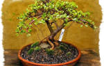 Как посадить денежное дерево для привлечения денег