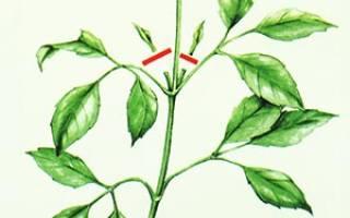 Как прищипывать растения