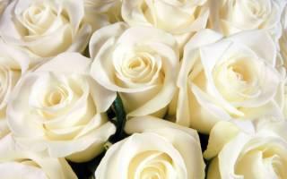Белые розы что обозначают