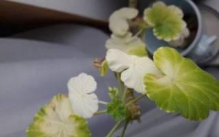 Почему белеют листья у герани