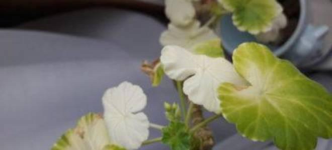 Почему у герани бледные листья