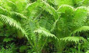 Лесной папоротник