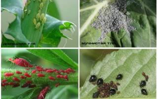Как выглядит тля на растениях