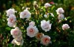 Кустовые розы уход и выращивание