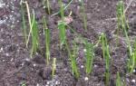 Лук слизун выращивание из семян