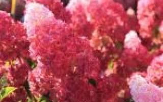 Гортензия метельчатая фрайз мельба описание