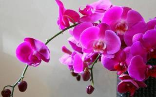 Почему опадают цветы у орхидеи