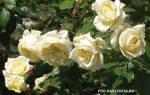 Розы рамблеры и клаймберы