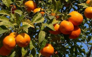 Как растут мандарины