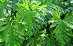 Цветок филодендрон