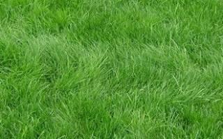 Когда лучше садить газонную траву