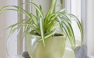 Хлорофитум уход в домашних условиях
