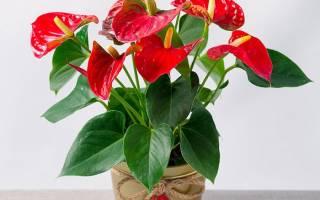 Комнатные растения уход в домашних условиях антуриум