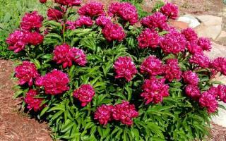 Пион молочноцветковый канзас