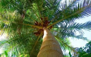 Как правильно посадить пальму