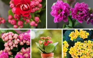 Красивые цветущие комнатные цветы