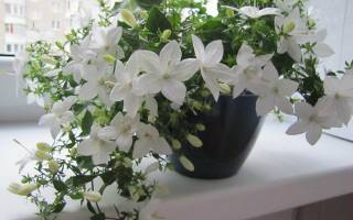 Комнатное растение невеста