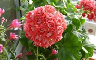Vectis rosebud пеларгония