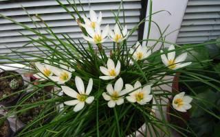 Цветок зефирантес уход в домашних условиях