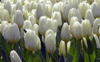 Как пересадить тюльпаны после цветения