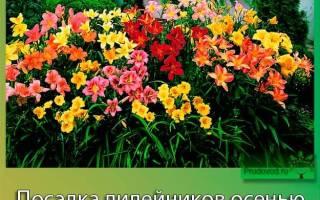 Посадка лилейников осенью