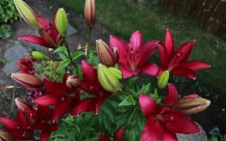 Лилии ла гибриды