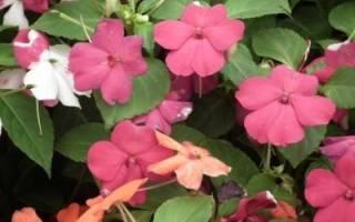 Почему бальзамин не цветет