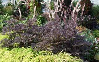 Растение клопогон