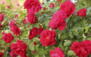 Когда сажать плетистую розу