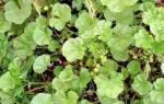 Растение калачики