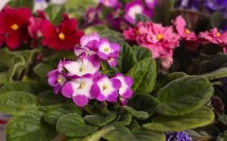 Можно ли пересадить цветущую фиалку