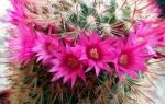 Сколько раз цветет кактус