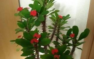 Молочай домашний цветок