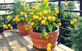 Чем подкормить лимон в горшке