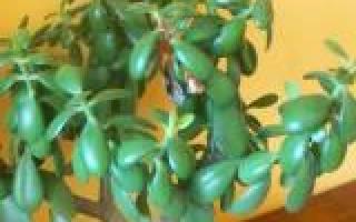 Толстянка денежное дерево что лечит