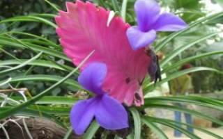 Тилландсия анита уход в домашних условиях цветение