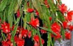 Эпифиллум как заставить цвести