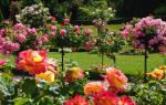 Домашняя роза дерево