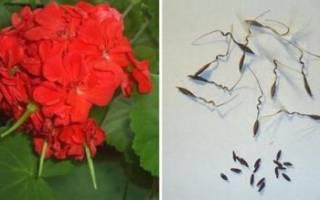 Как выглядят семена герани