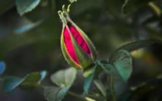 Почему роза сбрасывает бутоны