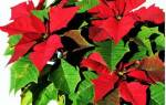 Комнатный цветок с красными листьями