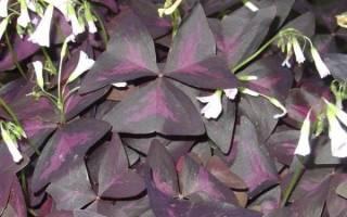 Фиолетовый комнатный цветок