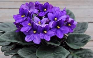 Чем подкормить фиалки для обильного цветения