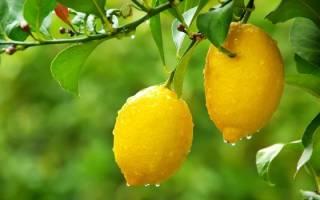 Лимон выращивание в домашних условиях