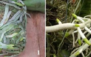 Белый налет на корнях орхидеи