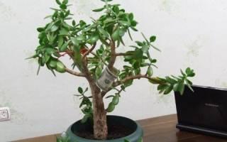 Как правильно посадить денежное дерево