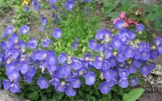 Кампанула садовая многолетняя