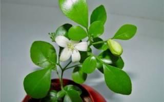 Мурайя цветок как ухаживать