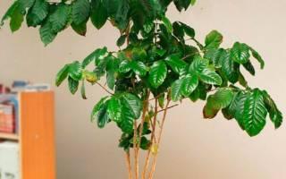 Кофе растение уход в домашних условиях