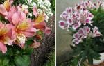 Цветы альстромерия